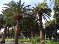 P-canariensis-Gran-Canaria-San-Telmo-Gdns-plantation-2-D-Rivera