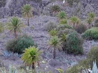 P-canariensis-Gran-Canaria-abandoned-fields-D-Rivera
