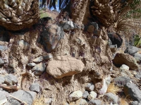 P-canariensis-Gran-Canaria-gullies-2-D-Rivera