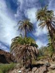 P-canariensis-Gran-Canaria-gullies-D-Rivera