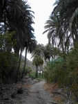 P-canariensis-Gran-Canaria-ravines-D-Rivera