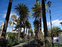 P-canariensis-Tenerife-Camino-largo-La-Laguna-plantations-2-D-Rivera