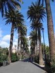 P-canariensis-Tenerife-Camino-largo-La-Laguna-plantations-D-Rivera