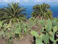 P-canariensis-Tenerife-Opuntia-fields-D-Rivera