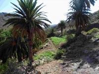 P-canariensis-Tenerife-field-margins-2-D-Rivera