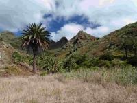 P-canariensis-Tenerife-ravines-2-D-Rivera