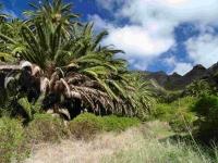 P-canariensis-Tenerife-ravines-3-D-Rivera