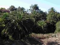 P-canariensis-Tenerife-ravines-D-Rivera