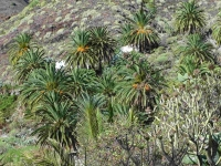 P-canariensis-Tenerife-slopes-on-mountains-D-Rivera