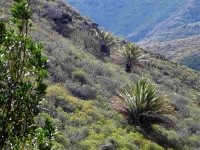 P-canariensis-Tenerife-slopes-on-mountains-scattered-2-D-Rivera
