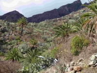 P-canariensis-Tenerife-slopes-on-mountains-scattered-3-D-Rivera