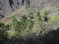 P-canariensis-Tenerife-slopes-on-mountains-wide-D-Rivera