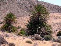 P-dactylifera-Cabo-de-Gata-2-D-Rivera