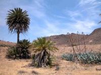 P-dactylifera-Cabo-de-Gata-D-Rivera