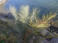 P-dactylifera-iberica-Altea-2-D-Rivera