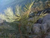 P-dactylifera-iberica-Altea-D-Rivera