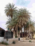 P-theophrasti-Stalis-beach-2-C-Obon