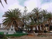 P-theophrasti-Stalis-beach-4-C-Obon