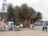 P-theophrasti-Stalis-beach-C-Obon