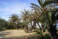 P-theophrasti-Vai-beach-3-D-Rivera