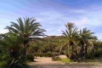 P-theophrasti-Vai-beach-4-D-Rivera
